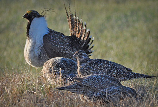 Bi-State Sage Grouse photo courtesy US Fish and Wildlife Service